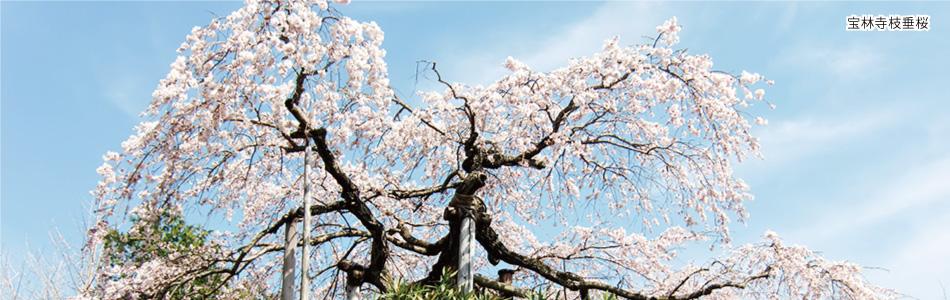 宝林寺枝垂桜|浜風きらら